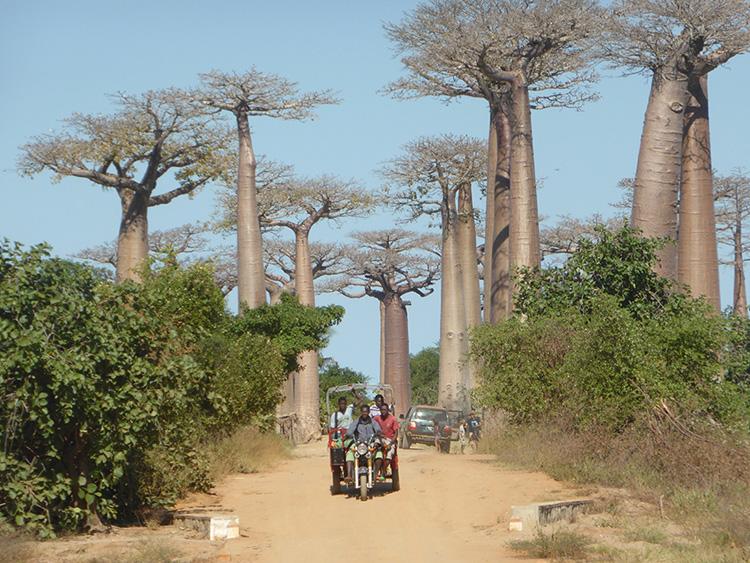 Balade sur les allées des Baobabs